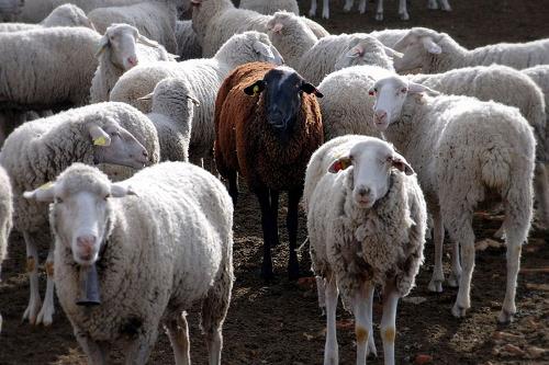 800px-Black_sheep-1
