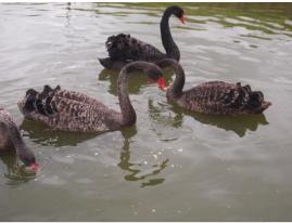 foto-zwarte-zwanen-uitdaging-jaap-soft